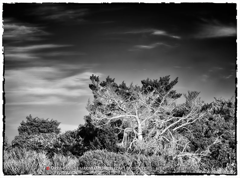 Exotic Tree B&W, St. Augustine, FL - Maxis Gamez, All Rights Reserved