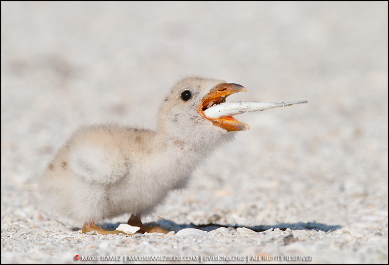 Black Skimmer Chick Feeding - Maxis Gamez, All Rights Reserved